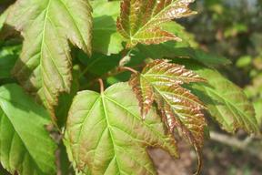 Acer tataricum subsp. ginnala - ERABLE DU FLEUVE AMOUR - Feuilles - Premières colorations rouges